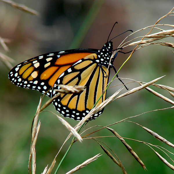 Coopers Falls Monarch Butterfly
